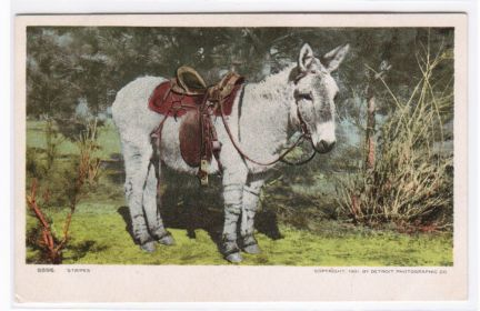 Old Post Card of Saddled Riding Donkey